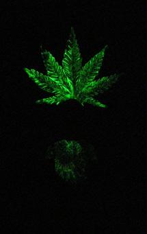 bud-glow.jpg